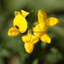 Bird's-Foot Trefoil (2)