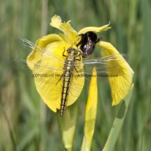 Black-Tailed Skimmer (female) Dragonfly (1)
