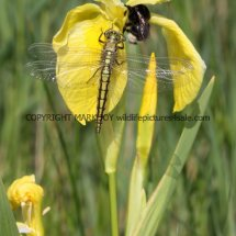 Black-Tailed Skimmer (female) Dragonfly (2)