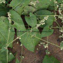 Black Bindweed (Fallopia convolvulus)