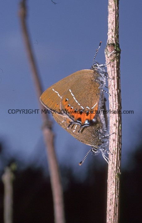 Black Hairstreaks mating (3)