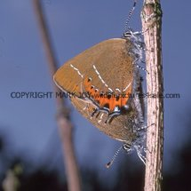 Black Hairstreaks mating (3)