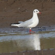 Black Headed Gull (5)