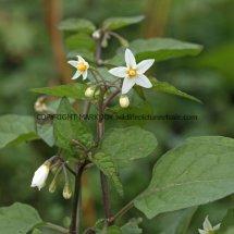 Black Nightshade (Solanum nigrum) (1)