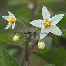Black Nightshade (Solanum nigrum) (2)