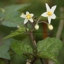 Black Nightshade (Solanum nigrum) (3)