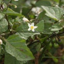 Black Nightshade (Solanum nigrum) (4)