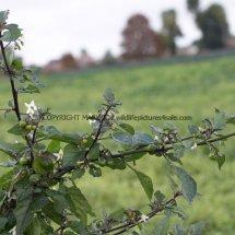 Black Nightshade (Solanum nigrum) (5)