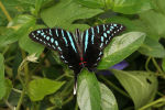Black Swordtail (Graphium colonna) (2)