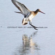 Black Tailed Godwit (3)