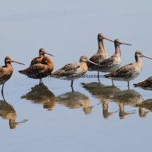 Black Tailed Godwit (6)
