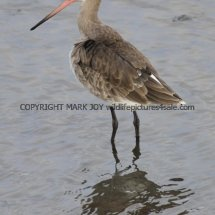 Black Tailed Godwit (2)