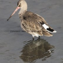 Black Tailed Godwit (5)