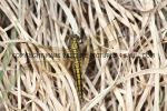 Black Tailed Skimmer (female) (2)