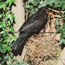 Blackbird 71