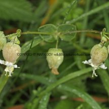 Bladder Campion or Maidenstears (Silene vulgaris) (3)