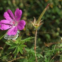 Bloody Cranesbill (Geranium sanguineum) (3)