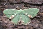 Blotched Emerald