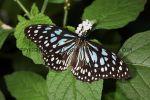 Blue Glassy Tiger (4)