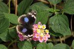 Blue Pansy Junonia oenone (2)
