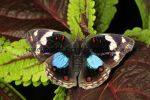 Blue Pansy Junonia oenone (4)