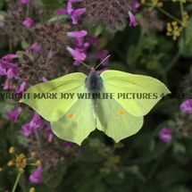 Brimstone (male in flight) (15)