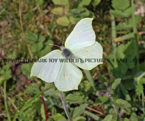Brimstone (female in flight) (18)