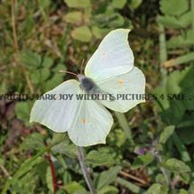 Brimstone (female in flight) (18)