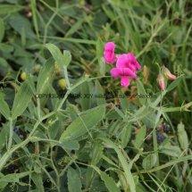 Broad-leaved Everlasting-pea (Lathyrus latifolius) (1)