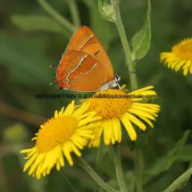 Brown Hairstreak (48)