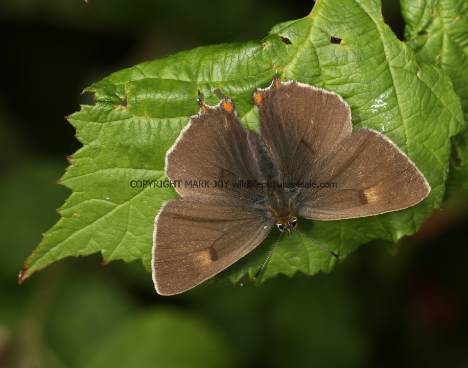 Brown Hairstreak (46)