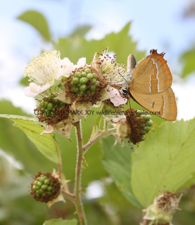 Brown Hairstreak (49)