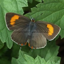 Brown Hairstreak (5)