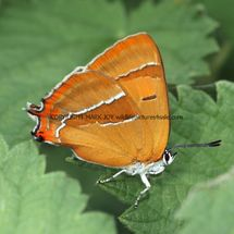 Brown Hairstreak (7)