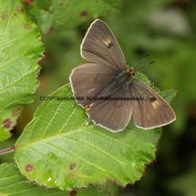 Brown Hairstreak (24)