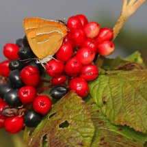 Brown Hairstreak (57)