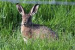 Brown Hare 32 (2)