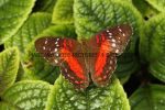 Brown Peacock or Scarlet Peacock Butterfly Anartia amathea (2)