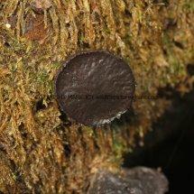 Bulgaria inquinans Black Bulgar NORTHANTS (1)