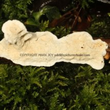 Byssomerulius corium Netted  Crust Alwalton 11.2.2017 (1)