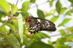 Cairns or Common Green Birdwing - female Ornithoptera priamus (2)
