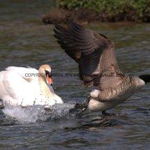 Canada Goose (1)
