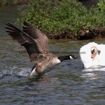 Canada Goose (3)