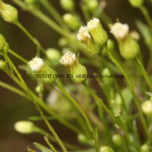Canadian Fleabane (Conyza canadensis) (1)