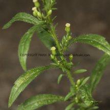 Canadian Fleabane (Conyza canadensis) (4)