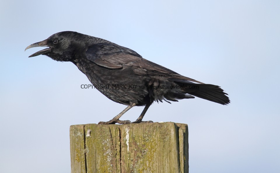 Carrion Crow (1)
