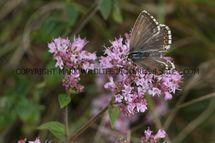 Chalkhill Blue (24)