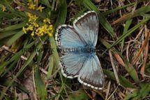 Chalkhill Blue (27)