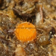 Cheilymenia stercorea Eyelash fungus HAMPSHIRE (3)