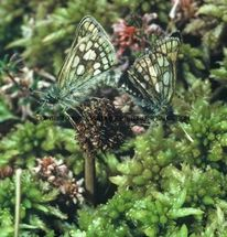 Chequered Skippers mating (5)